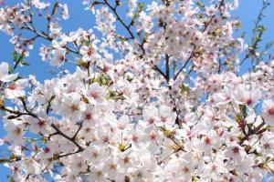 ギャラリー桜